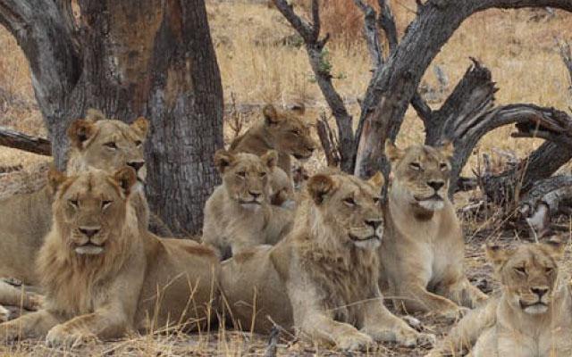 lionslisting