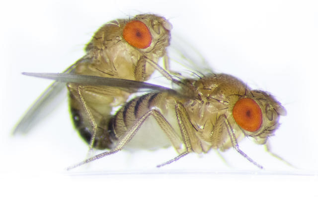 Drosophila (Amy Hong)