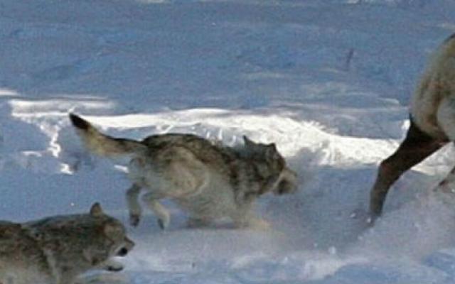 wolves elk hero