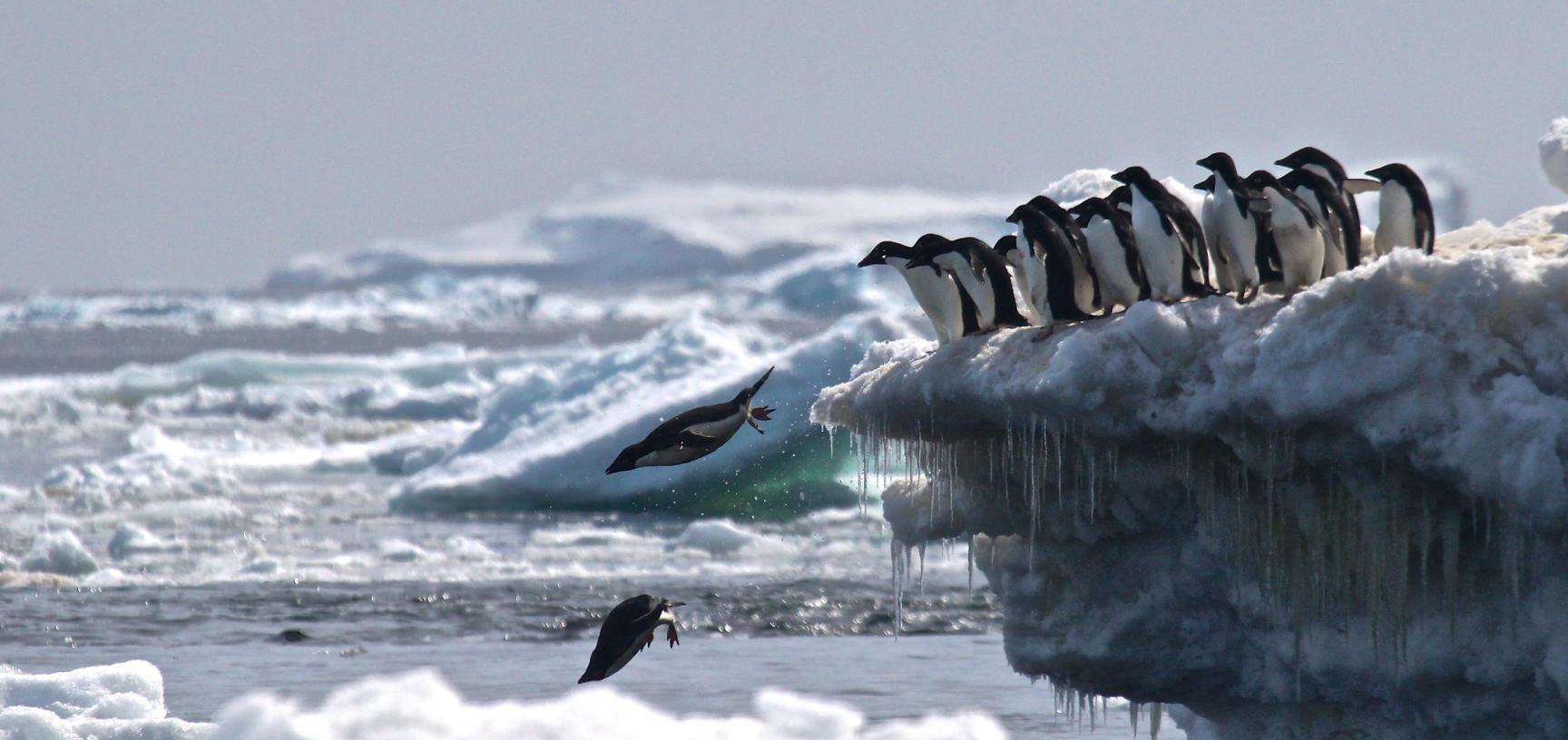 adelie penguins jumping of iceberg danger islands antarctica credit rachael herman stony brook university louisiana state university