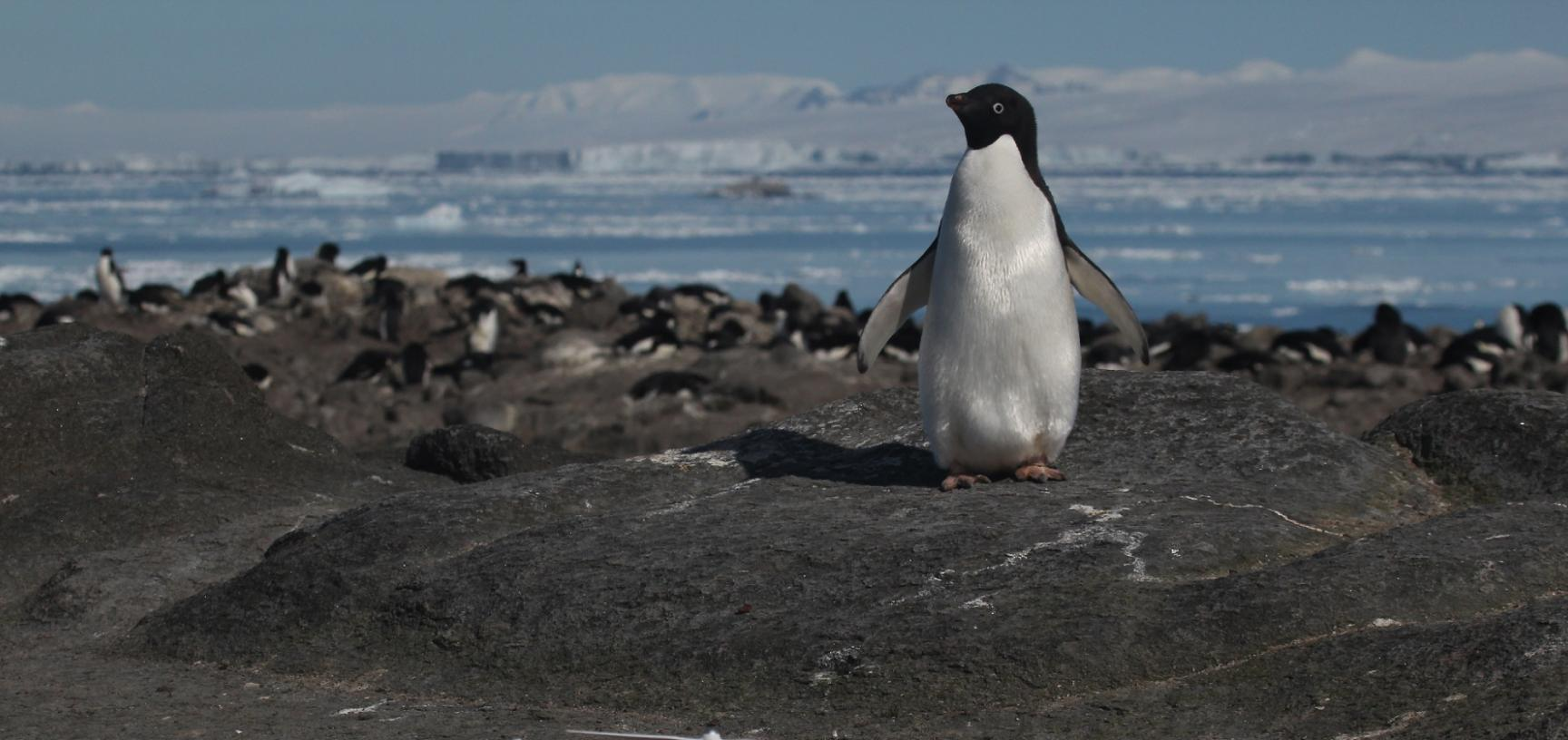 an adelie penguin and quadcopter on brash island danger islands antarctica credit rachael herman stony brook university louisiana state university
