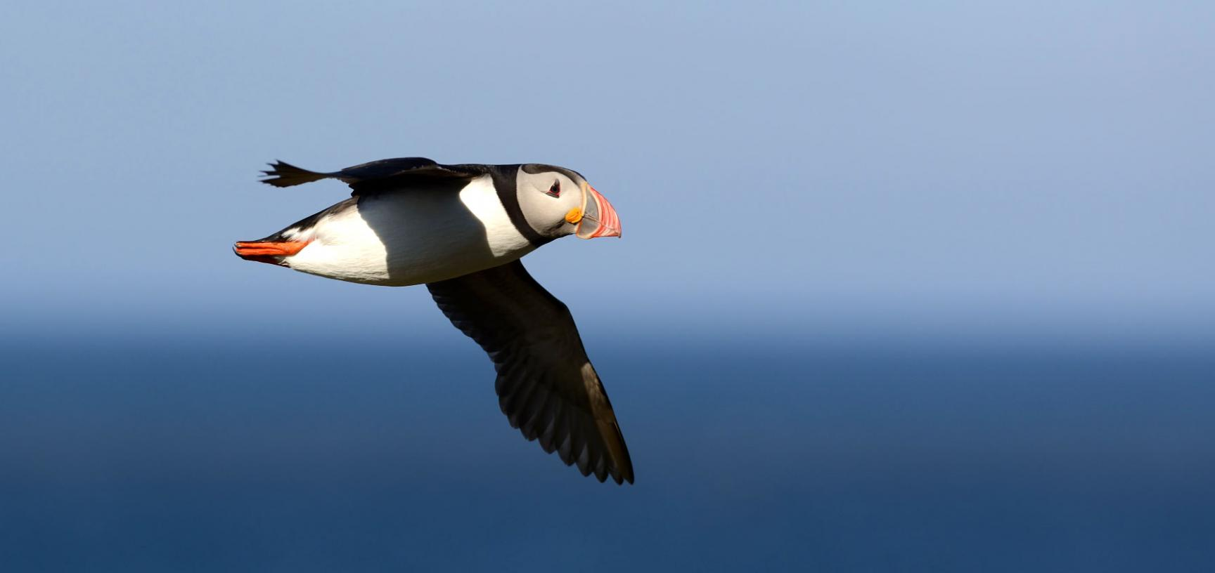 Puffin in flight in the Norwegian Sea (credit: Tycho Anker Nilssen)