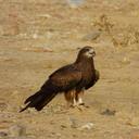 black kite c nishant kumar