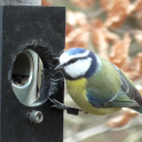 blue tit on feeder fhillemann