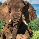 elephant musth 2 news