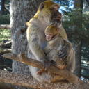 primates c liz campbell