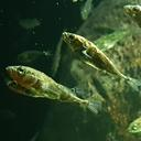 three spined stickleback gasterosteus aculeatus