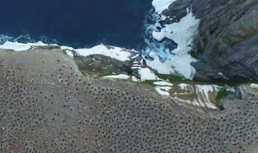danger islands expedition image 1 quadcopter aerial imagery of an adelie penguin breeding colony on heroina island danger islands antarctica credit thomas sayre mccord whoi mit