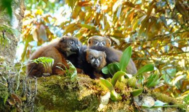 Red-bellied lemurs