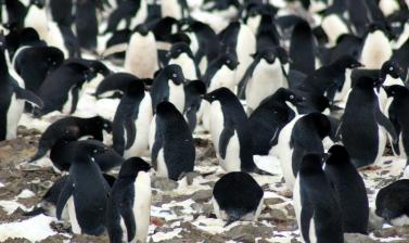 nesting adelie penguins danger islands antarctica credit michael polito louisiana state university