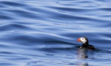 Puffin swimming (credit: Steve Kress)