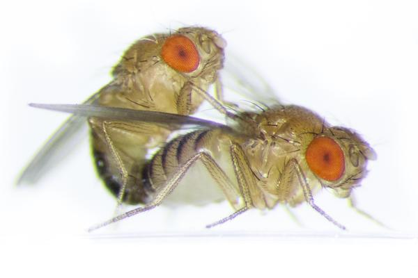 Drosophila (Amy Hong)