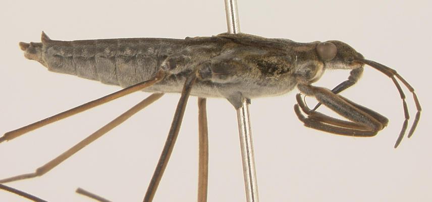 pingreensis female lateral