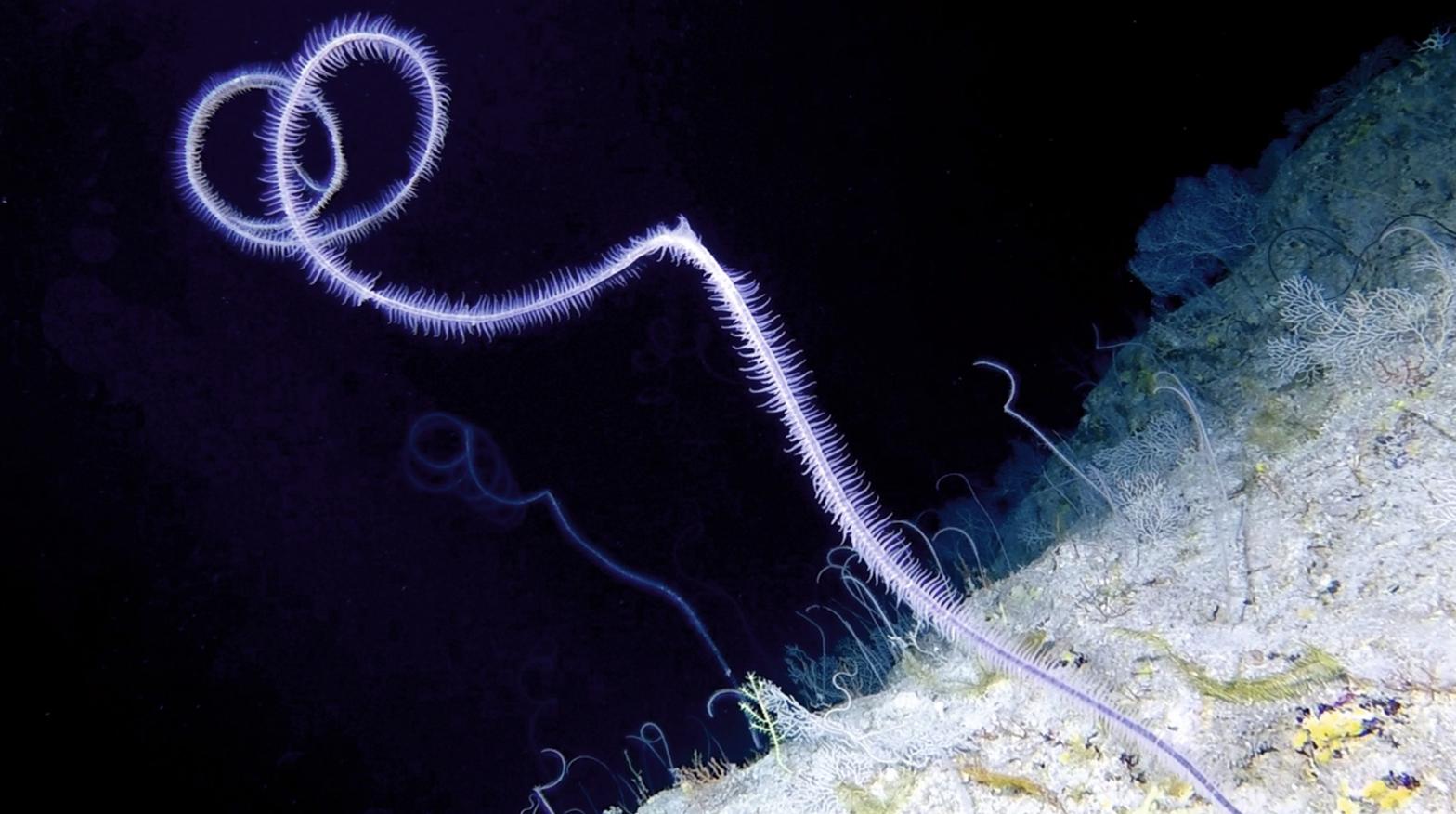 Credit- Nekton: Black coral garden at 300m off Bermuda.